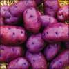 В Пензенской области вырастят фиолетовый картофель