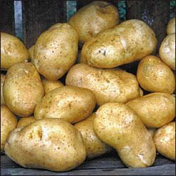 В Пензе планируют вырастить 85 тысяч тонн картофеля
