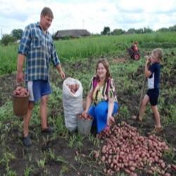 Производство картофеля в Пензе вырастет
